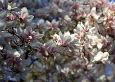 Witte magnoliabloemen onder de lentezonneschijn royalty-vrije stock fotografie