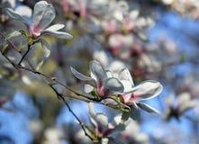Witte magnoliabloemen onder de lentezonneschijn royalty-vrije stock afbeelding
