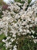 Witte Magnoliabloemen, tuininstallaties royalty-vrije stock foto