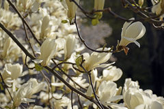 Witte magnoliabloesem Stock Foto