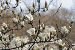 Witte magnoliatak met de lente bloeiende bloemen en knoppen Stock Foto
