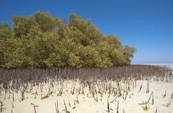 Witte mangroveboom met wortels in lagune stock foto
