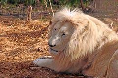 Witte Mannelijke Leeuw Royalty-vrije Stock Afbeelding
