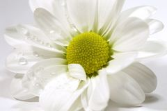 Witte margriet Stock Afbeelding