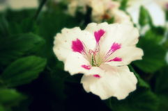 Witte Martha Washington Geranium Stock Fotografie