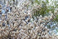 Witte meer amelanchier struik in de lente Royalty-vrije Stock Foto