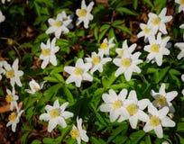 Witte meest florest anemoon Stock Afbeelding