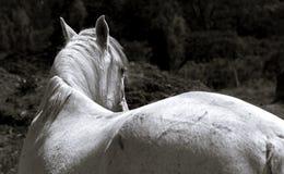 Witte merrie die haar hoofd draaien stock foto's
