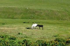 Witte merrie met zwart veulen op groene weide royalty-vrije stock fotografie