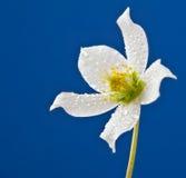 Witte met dauw bedekte bloem op blauwe achtergrond stock afbeelding