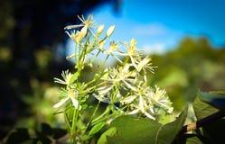 Witte Miniatuurhoneysuckle weed stock foto's