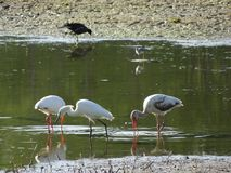 witte moerasvogels Stock Afbeeldingen