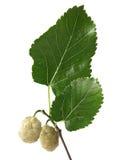 Witte Moerbeiboom (alba Morus) Stock Fotografie