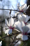 Witte mognoliabloemen in de lentesinshine stock foto