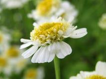 Witte mooie bloem Royalty-vrije Stock Afbeelding
