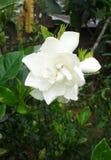 Witte mooie bloem Stock Foto's
