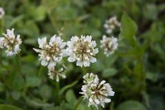 Witte mooie bloemen van klaver op het gebied De achtergrond van het gras Stock Foto's