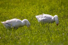 Witte mooie ganzen die op helder groen gras dicht lopen Stock Foto's
