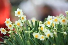 Witte mooie narcissenbloemen stock fotografie