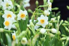Witte mooie narcissenbloemen Stock Afbeeldingen