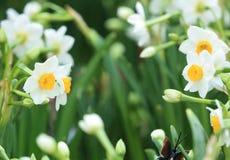 Witte mooie narcissenbloemen royalty-vrije stock afbeeldingen