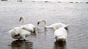 Witte mooie zwanen bij het bosmeer stock video