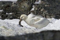 Witte morph van de zuidelijke reuzestormvogel die kuiken eet Stock Foto's
