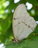 Witte Morpho Royalty-vrije Stock Afbeeldingen