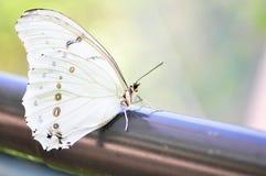 Witte Morpho-vlinder Royalty-vrije Stock Fotografie