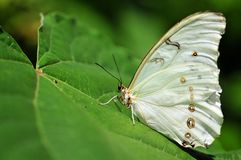 Witte Morpho-vlinder Royalty-vrije Stock Foto