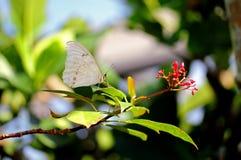 Witte Morpho-vlinder Royalty-vrije Stock Afbeeldingen
