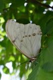 Witte Morpho-vlinder Stock Afbeeldingen