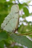 Witte Morpho-vlinder Stock Foto's