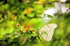 Witte Morpho-vlinder met rode bloemen Stock Foto