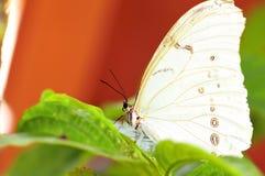 Witte Morpho-Vlinder (Morpho-polyphemus) Royalty-vrije Stock Afbeelding