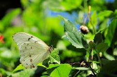 Witte Morpho-vlinder op blad Royalty-vrije Stock Fotografie