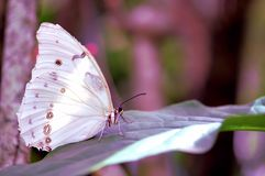 Witte Morpho-vlinder op blad Stock Fotografie