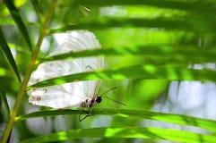 Witte Morpho-vlinder op lang blad Royalty-vrije Stock Foto's