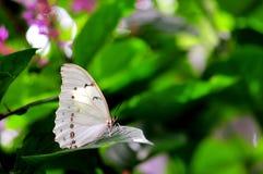 Witte Morpho-vlinder op vage achtergrond Royalty-vrije Stock Afbeeldingen