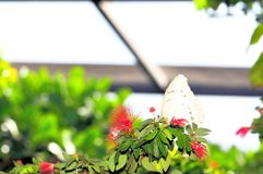 Witte Morpho-vlinder in vogelhuis, Florida Stock Afbeelding