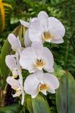 Witte Mottenorchideeën Stock Foto's