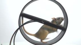 Witte muis met een zwarte ooglooppas langzaam in het lopende wiel voor knaagdieren, langzame motie stock videobeelden