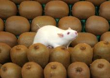 Witte muis op kiwivruchten Stock Foto's