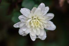 Witte Mum Royalty-vrije Stock Foto