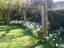 Witte Narcissen gele Gele narcissen in de lente Stock Afbeelding
