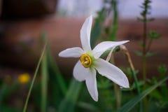 Witte narcissen met gele kern op groene de lente wilde weide Stock Afbeelding