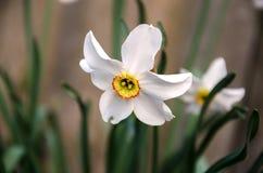 Witte narcissenBloem royalty-vrije stock foto