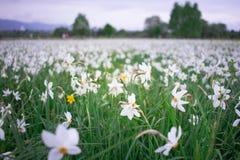 Witte narcissuses die op groen de lentegebied bloeien in natuurlijk pari stock foto