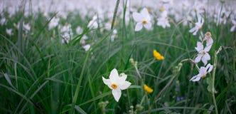 Witte narcissuses die op groene de lenteweide bloeien in natuurlijke pa stock foto