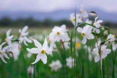 Witte narcissuses op groene de lente wilde weide sluiten omhoog Stock Afbeeldingen